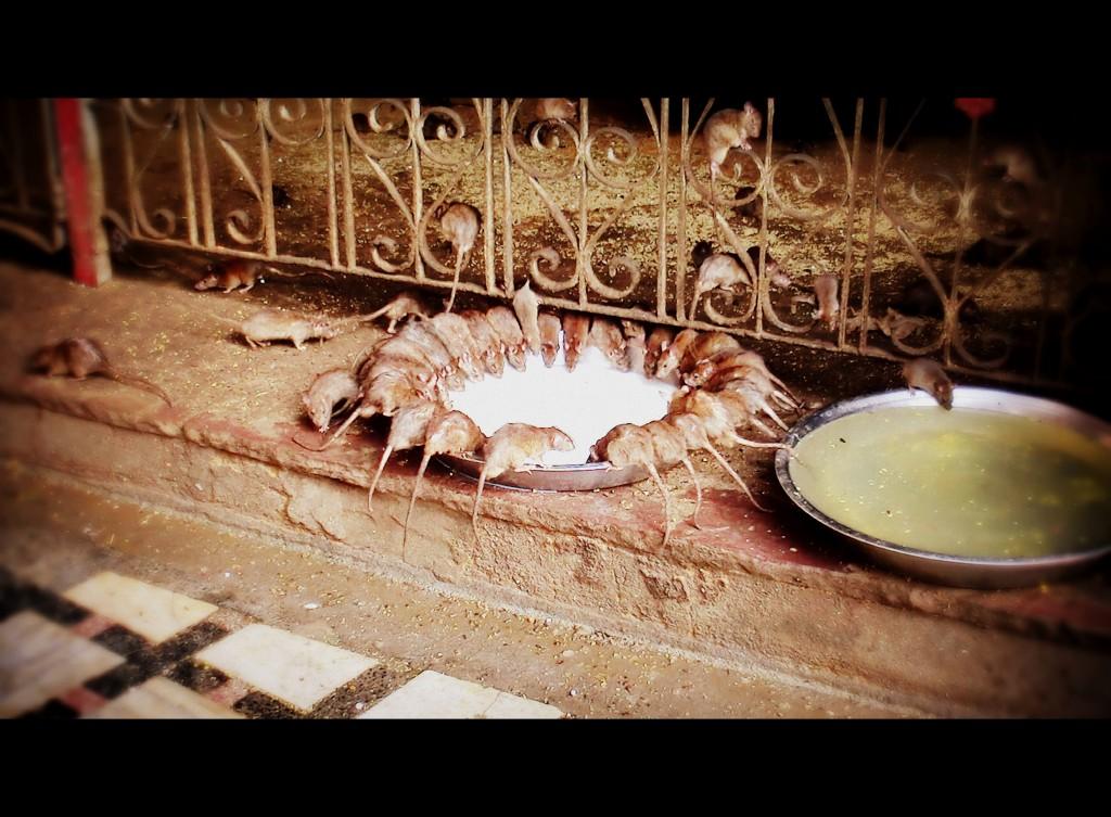 Repas de rats à Bikaner, Rajasthan...