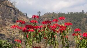 Fleurs du Sikkim