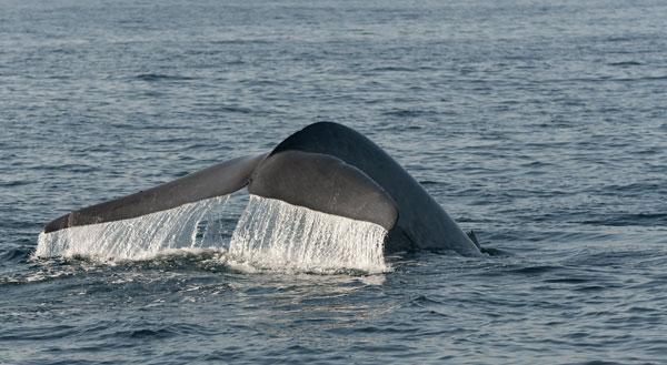 Baleine au Sri Lanka