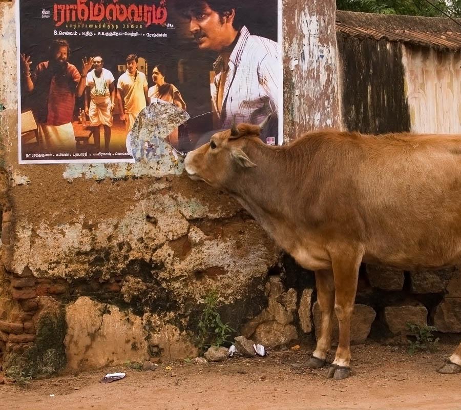 Vache au Tamil Nadu