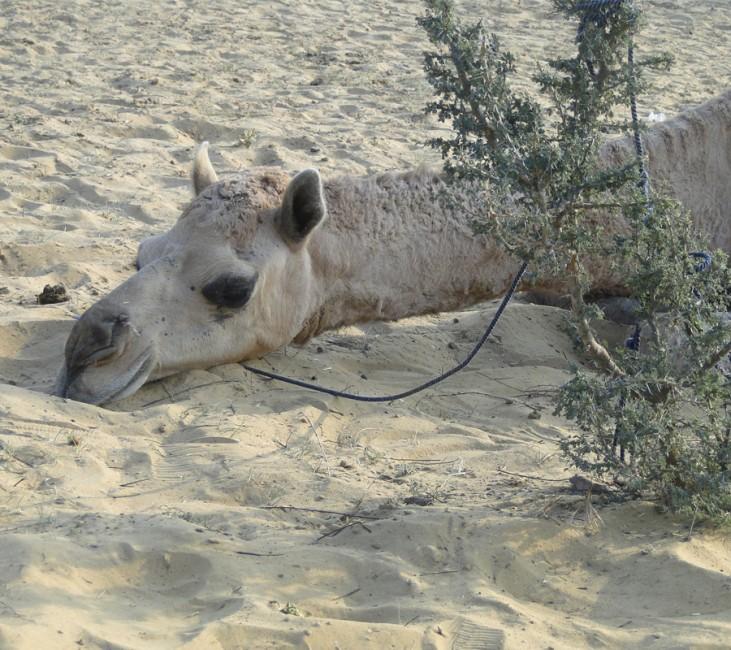 Balade à dos de camel