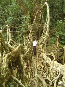 Pont en racines de ficus