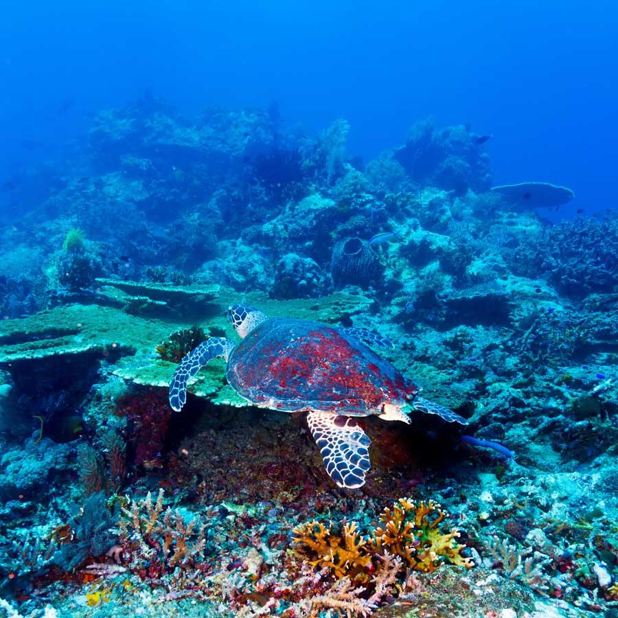 Schildkröte an der Pigeon Island