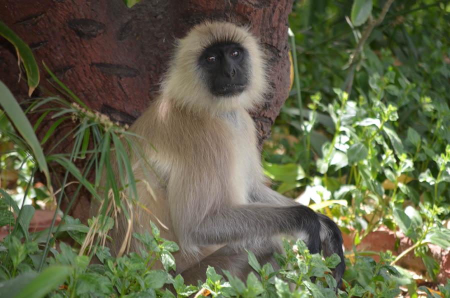 Blackface Monkey