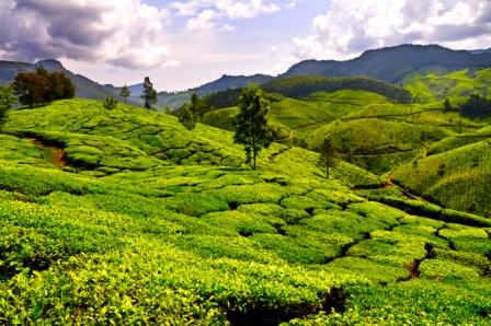 Kerala Munna Tea plantation