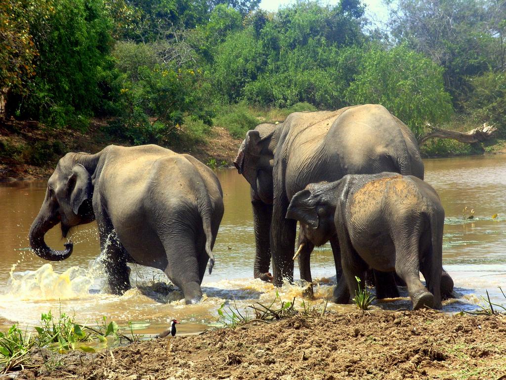 Eine Elefantenfamilie im Minneriya Nationalpark