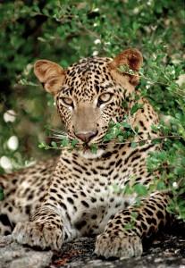 Ein Leopard ruht sich aus