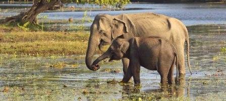 SriLanka_Pinnawala Orphanage_Elephant