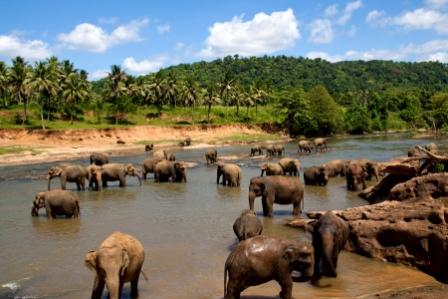 Sri_Lanka-elephant_herd_bathing