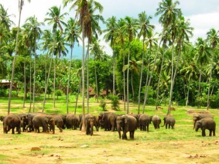 Sri_Lanka_Herd_Elephants