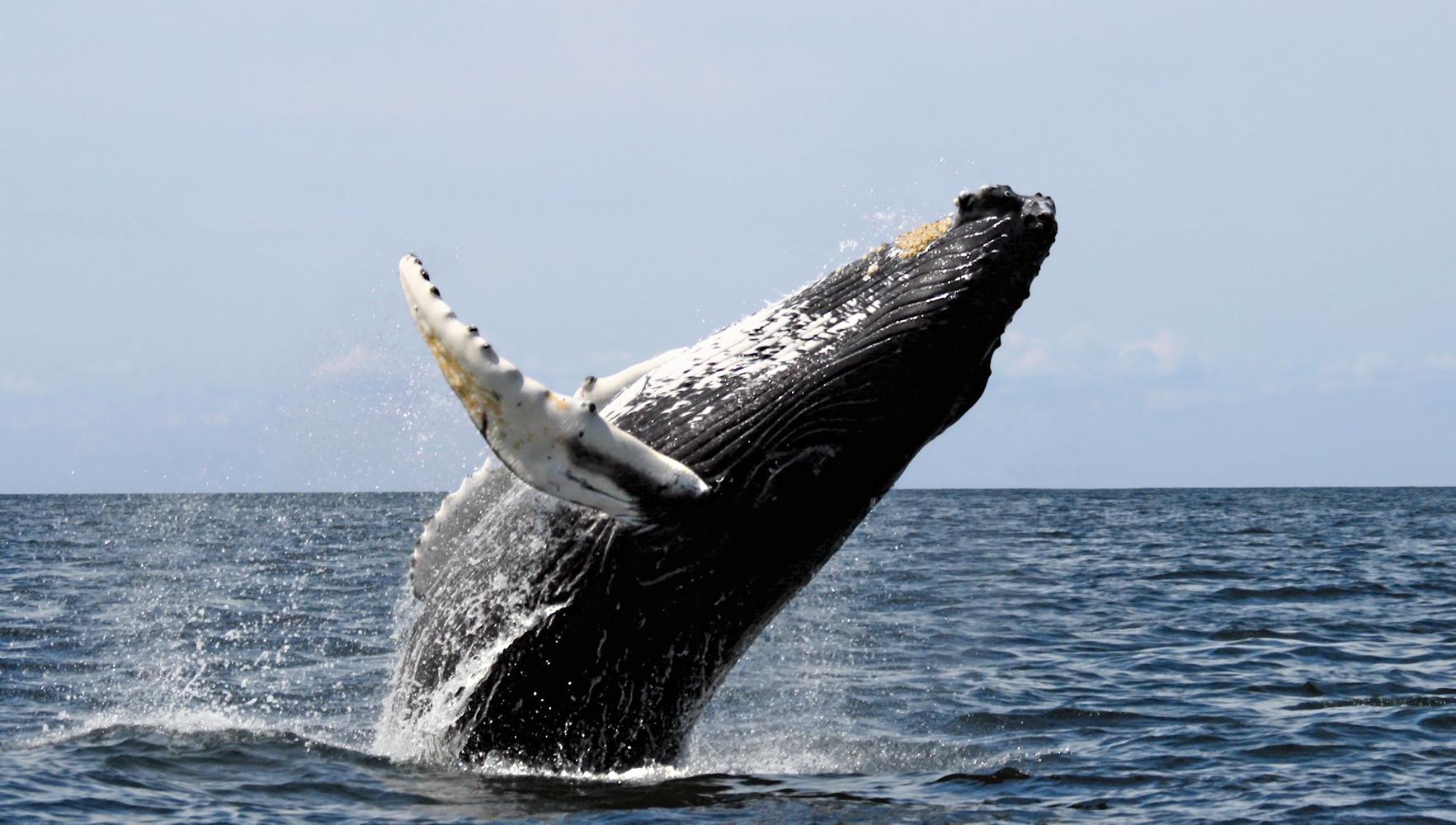 Blauwal vor der Küste von Mirissa