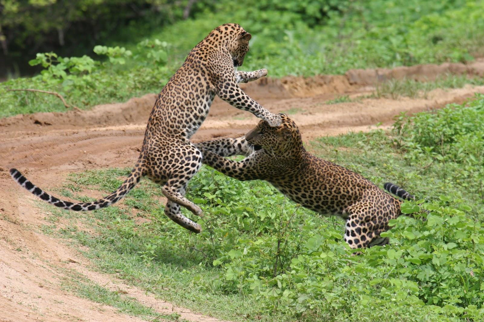 Zwei junge Leoparden im Yala Nationalpark