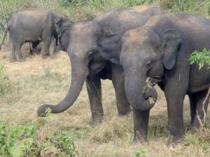 Elephants-du-sri-lanka