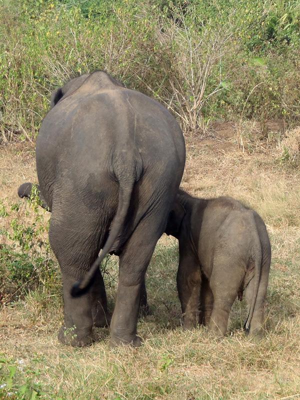 Elephanteau-tetant-sa-mere