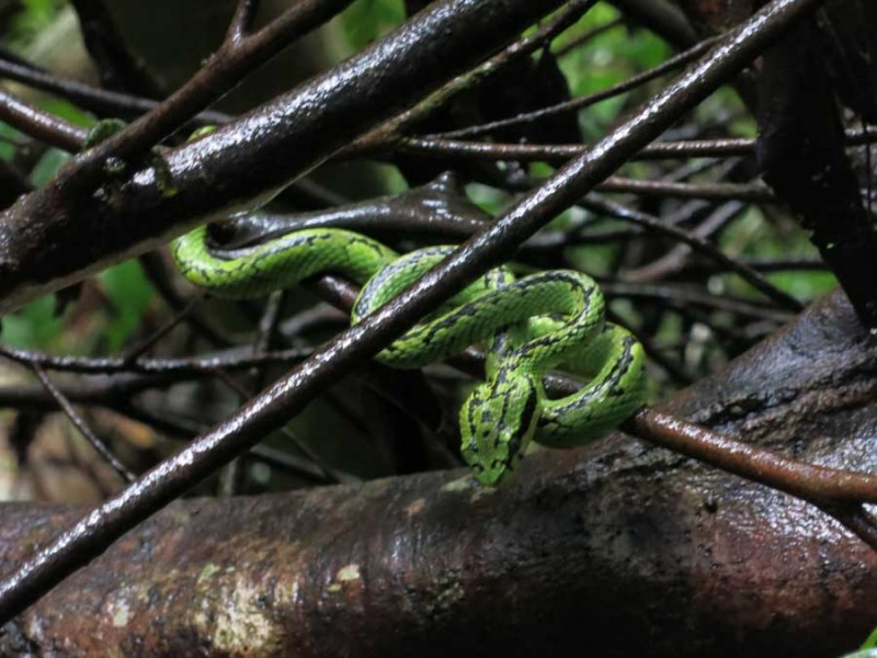 Schlange in Sinharajah