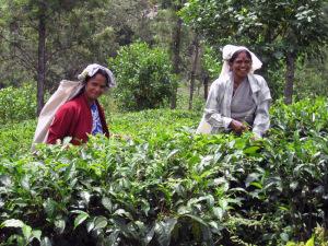 Sri lanka tea pluckers