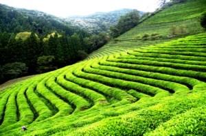 Plantaciones de té hasta el horizonte