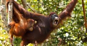 Orang-Outan de Borneo