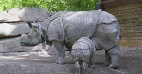 Rhinoceros de Java