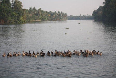 Ducks wading on Kerala Backwaters