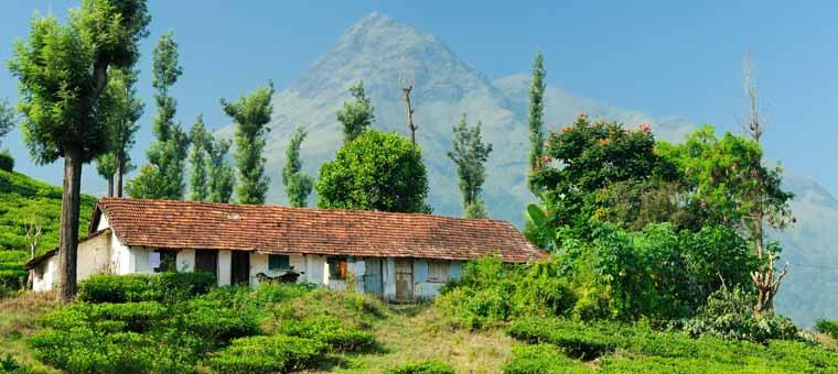 Tea Plantation in Kozhikode, Kerala