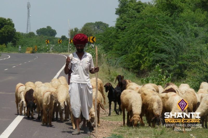 Troupeau sur la route du Rajasthan
