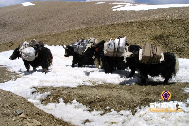 Yaks au Tibet