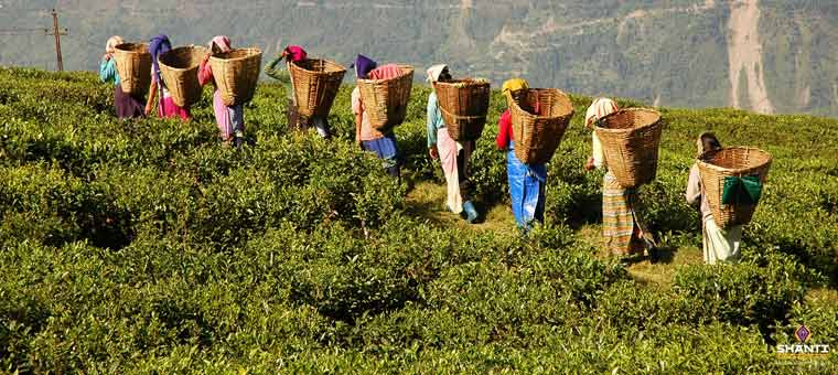 tea-estates-in-sikkim
