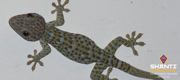 Gecko Indonésie