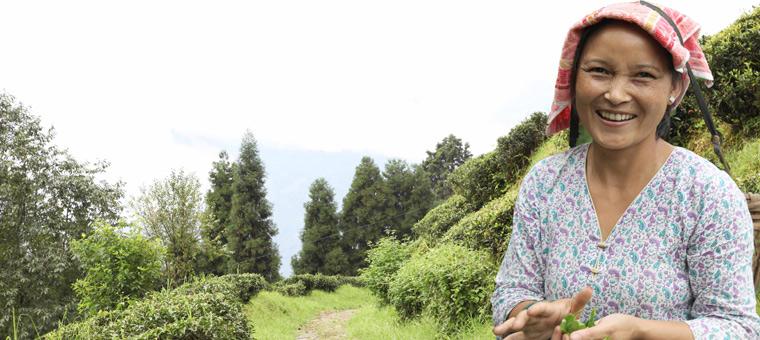 Petit producteur Darjeeling