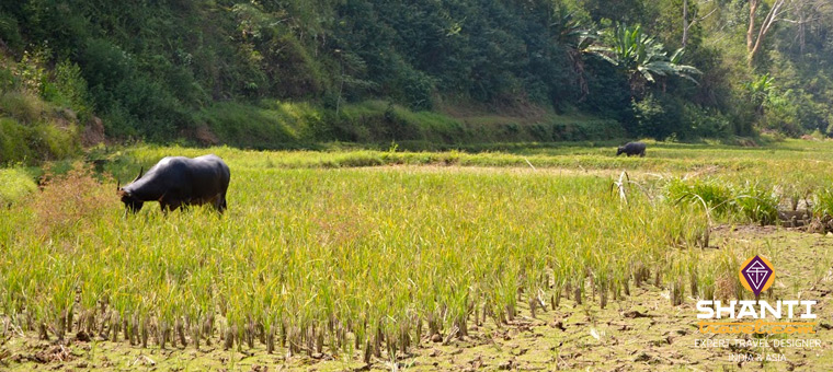 Rizières Toraja