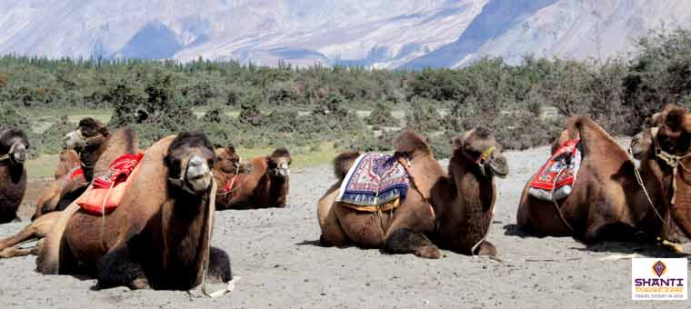 Double Humped Camels in Nubra