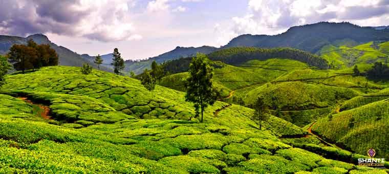Organic Tea Plantation in Munnar
