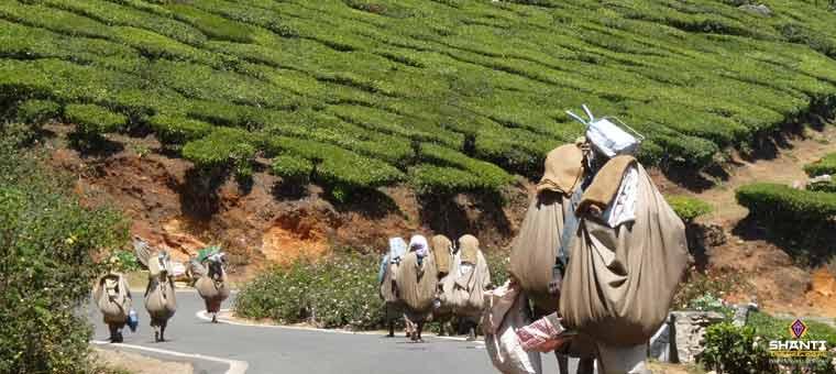Tea workers of Munnar