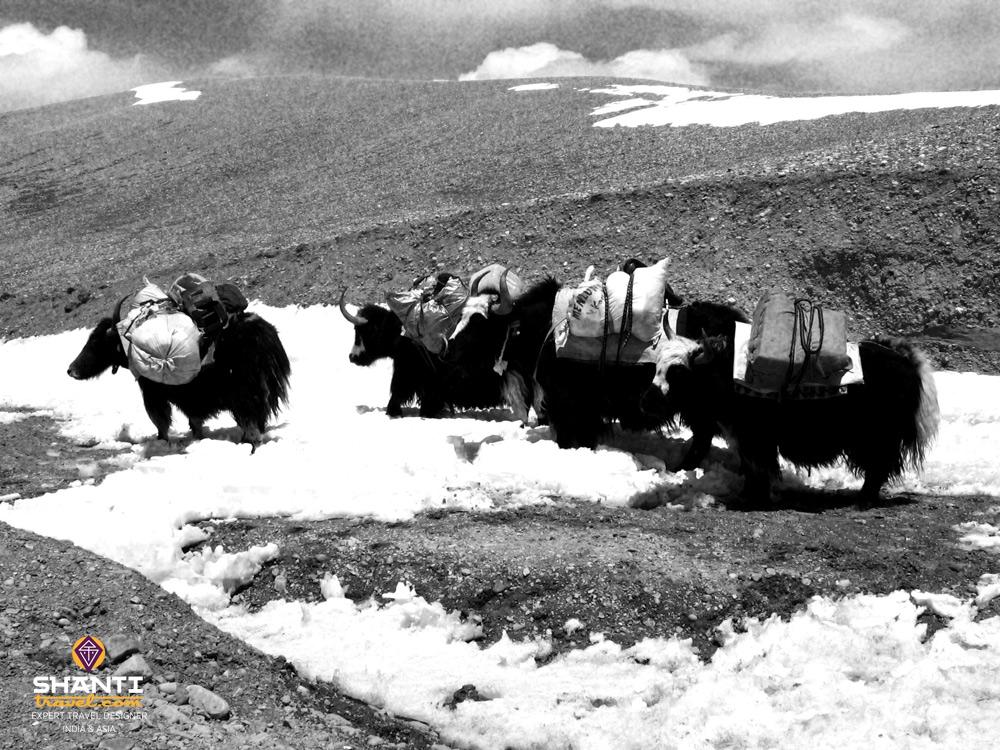 Des yacks au Tibet