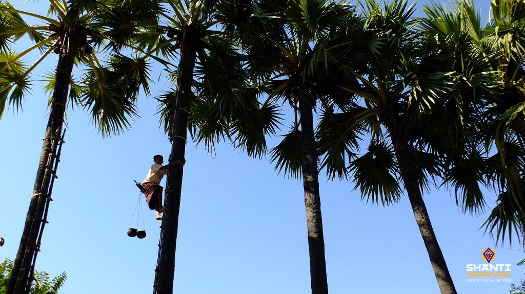 sucre palmier bagan birmanie