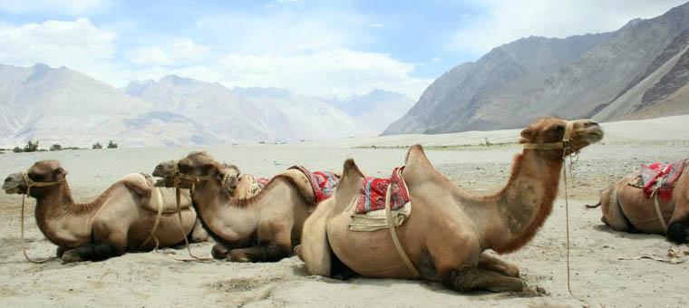 chameaux au Ladakh