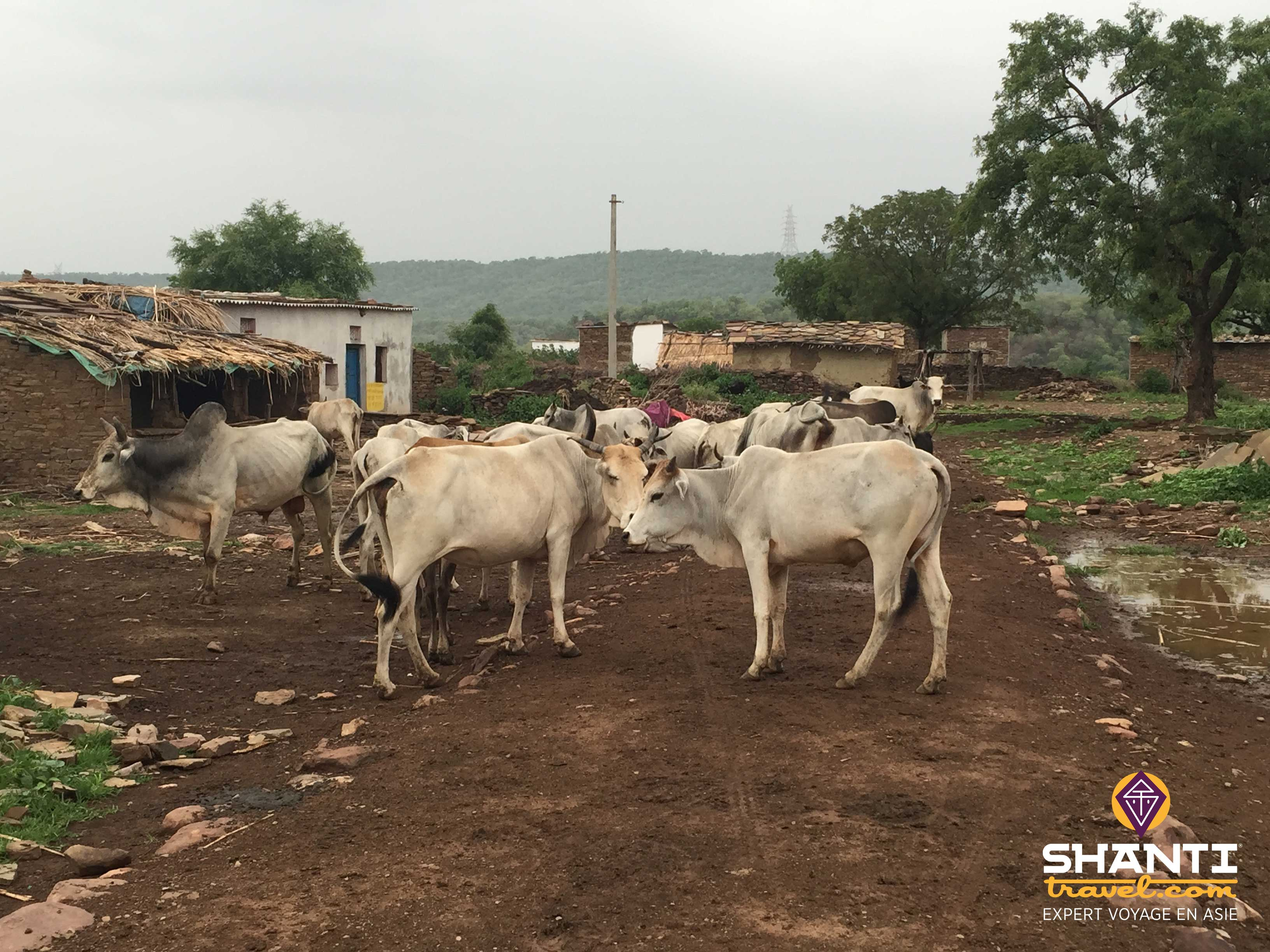 Bhainsrorgarh-vaches