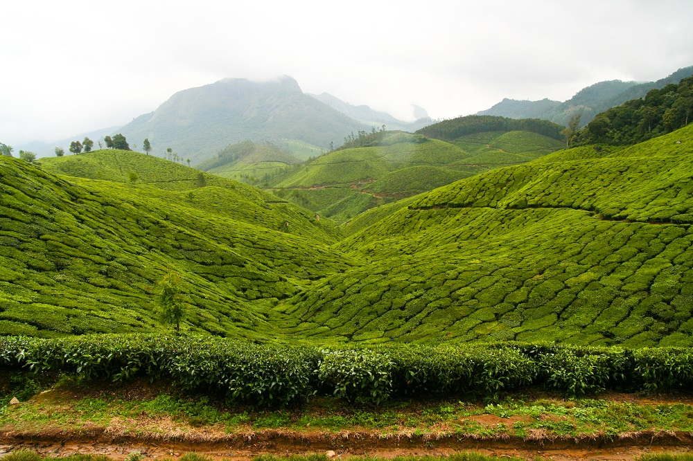 Kerala_Munnar_Plantation_The