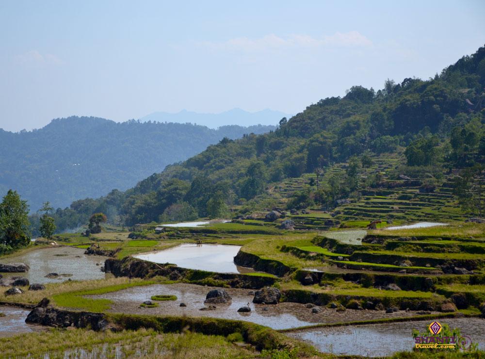paddy fields in toraja