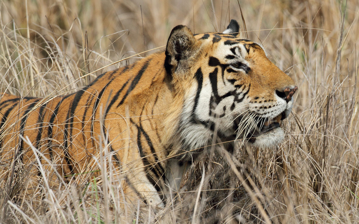tiger in madhya pradesh