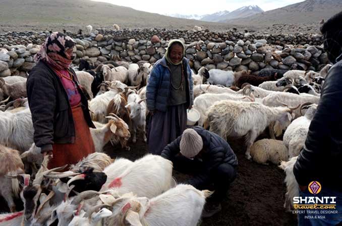 Bergers Ladakh