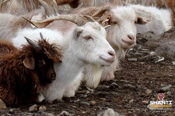 Chèvres Ladakh
