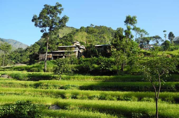 Népal rizières