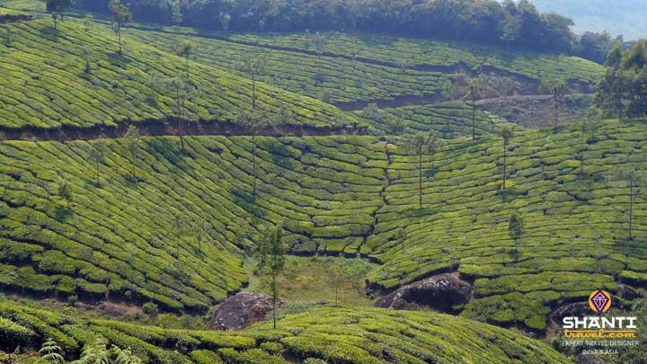 Plantation Thé Munnar