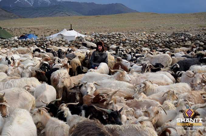Troupeau Ladakh