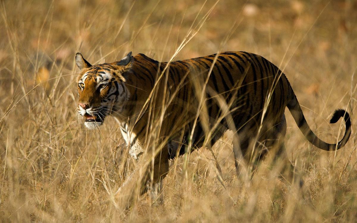 tiger tourism Madhya Pradesh