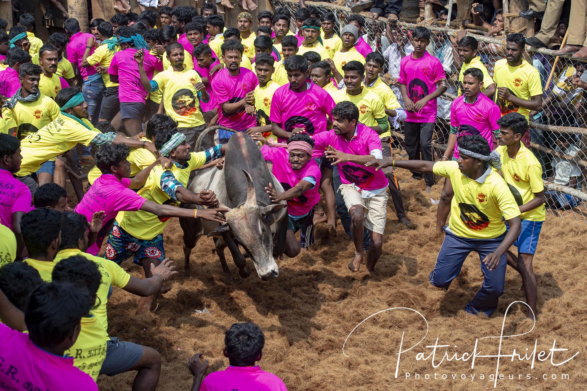 Inde-festival-Pongal